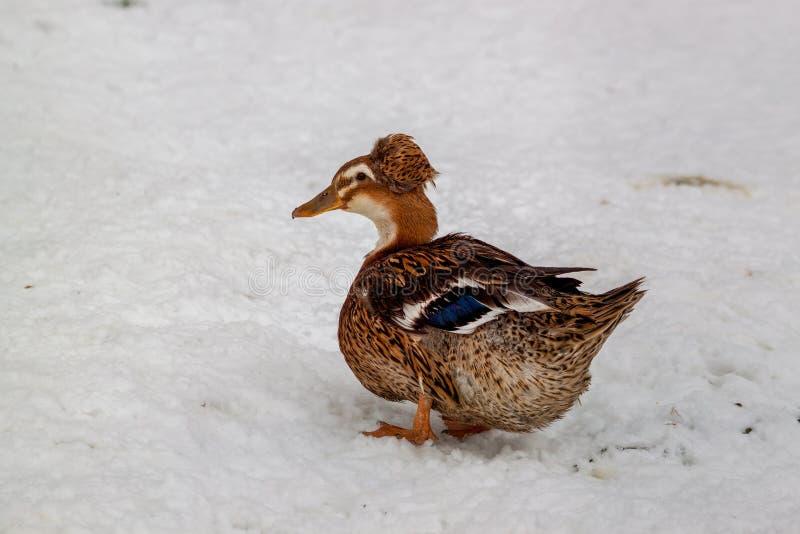 Canard crêté dans la neige photos libres de droits