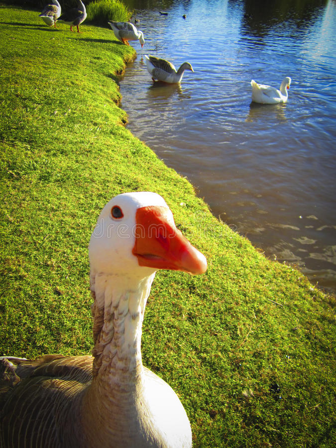 Canard curieux photos stock