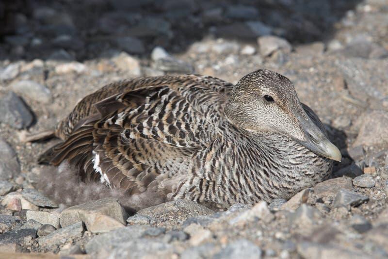 Canard d'eider à duvet sur l'emboîtement dans la toundra arctique photographie stock libre de droits
