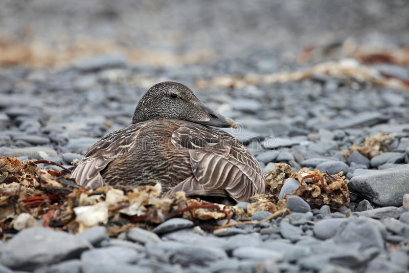 Canard d'Eider photo libre de droits