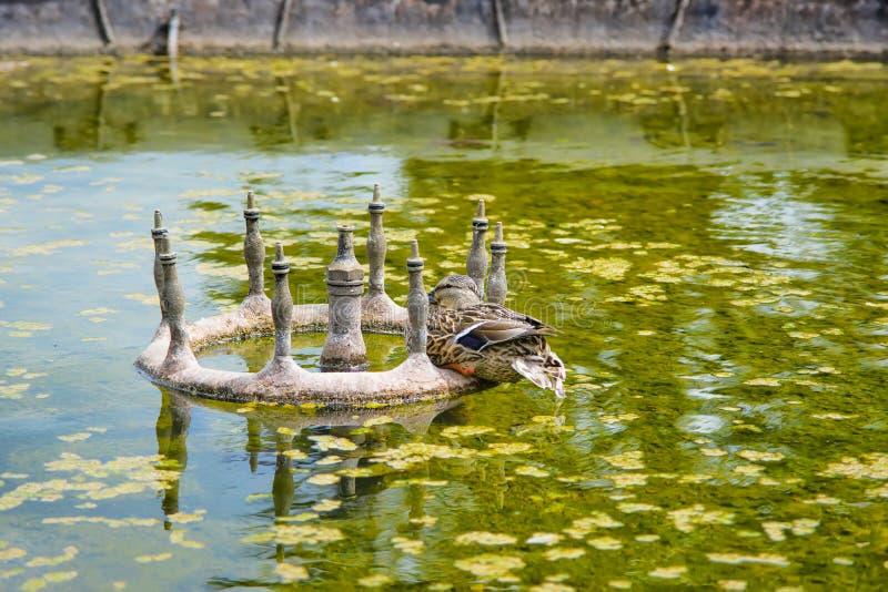 Canard dans l'étang de la Chambre d'extrémité d'Audley dans Essex images libres de droits