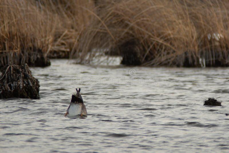 Canard dans l'alimentation de marais photo stock