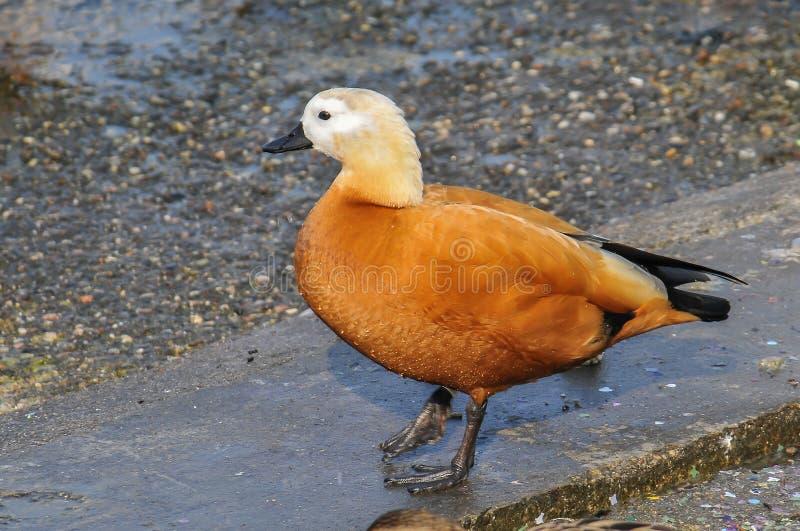 Canard dans la faune images libres de droits