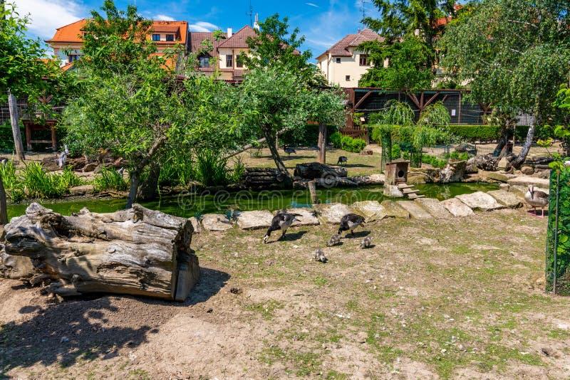 Canard dans la station de secours Mère de canard avec des couples de petits poussins Petits étang et arbres à l'arrière-plan, jou photos libres de droits