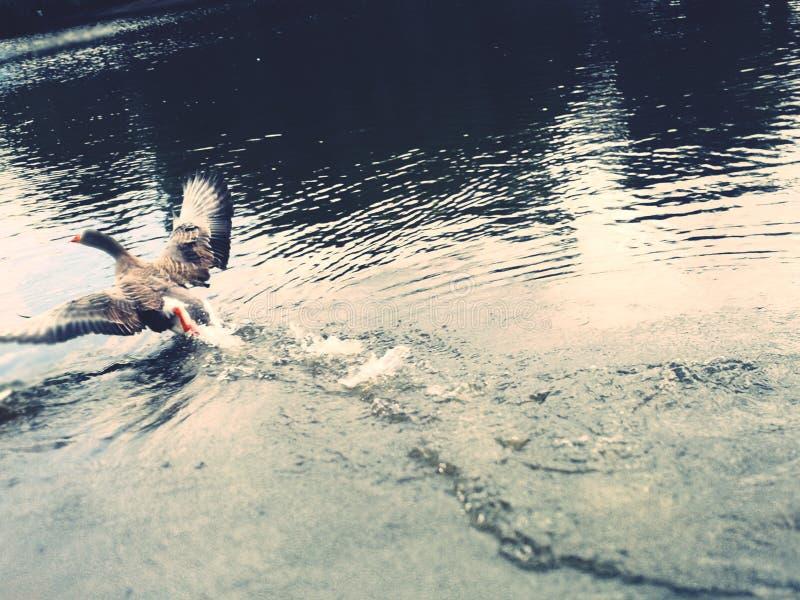 Canard dans le lac photographie stock