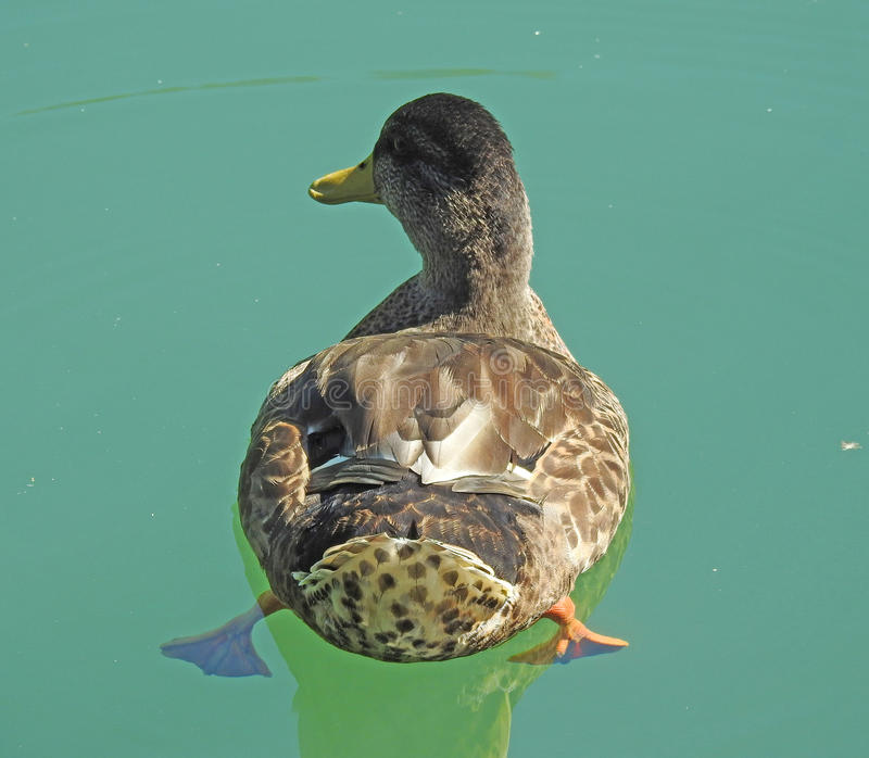 Canard dans le lac photographie stock libre de droits