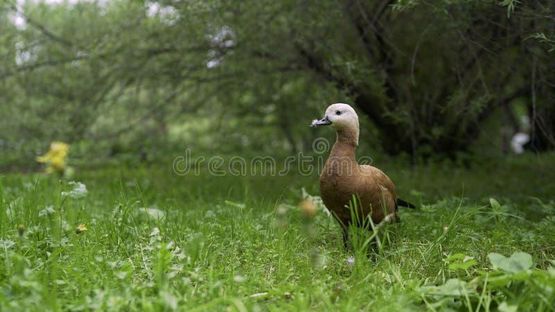 Canard dans le pré Un canard marche en parc dans le pré photos libres de droits