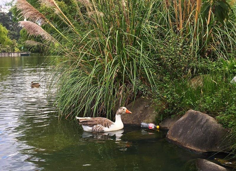 Canard dans les eaux polluées avec une bouteille en plastique image stock