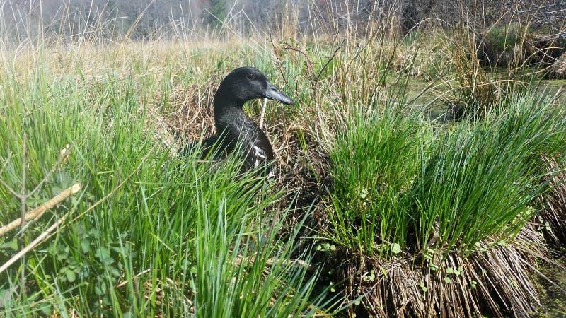 Canard dans les mauvaises herbes images libres de droits