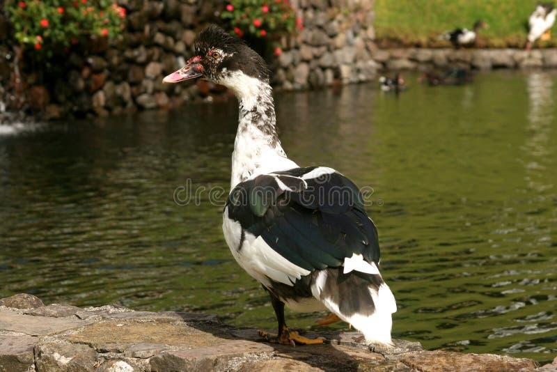 Canard dans un étang photo libre de droits