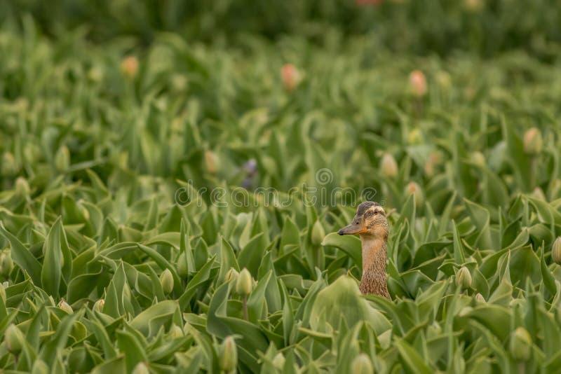 Canard de cache-cache photo libre de droits