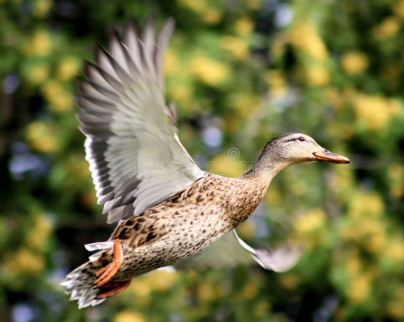 Canard de colvert en vol image stock