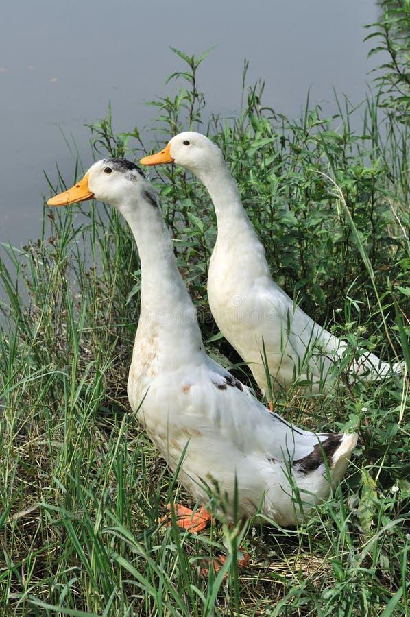 Canard de deux blancs photos libres de droits