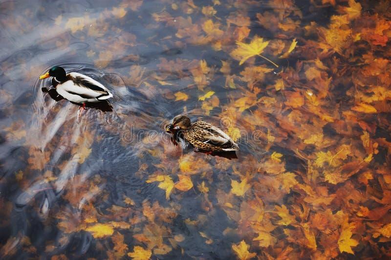 Canard de deux canards sur une eau dans l'étang foncé avec les feuilles de flottement d'automne ou de chute photographie stock libre de droits