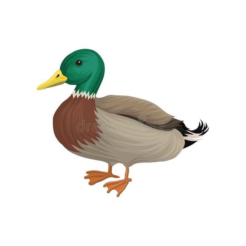 Canard de Drake, illustration de vecteur d'élevage de volaille sur un fond blanc illustration libre de droits