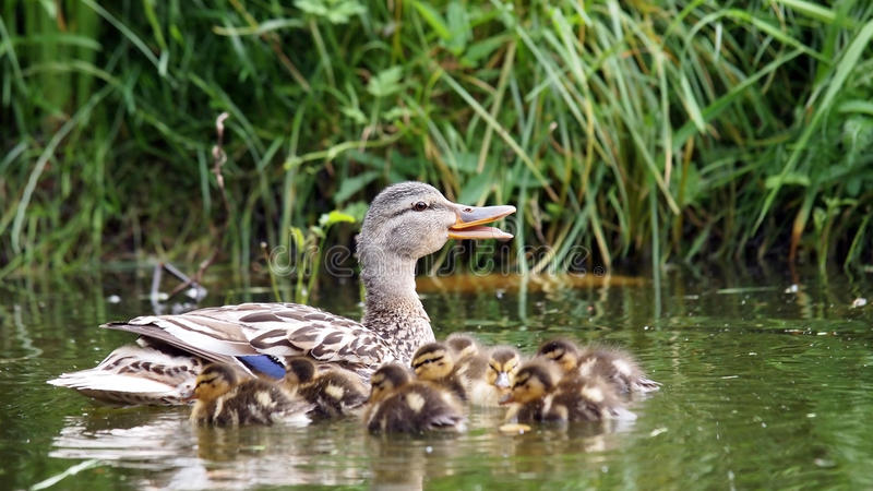 Canard de mère avec ses canetons photos libres de droits