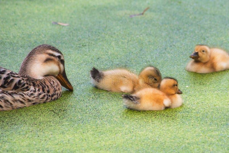 Canard de mère avec ses canetons de bébé nageant sur un lac image libre de droits