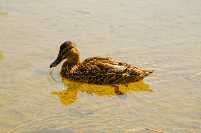 Canard de Mallard dans le lac de studzieniczne photos stock