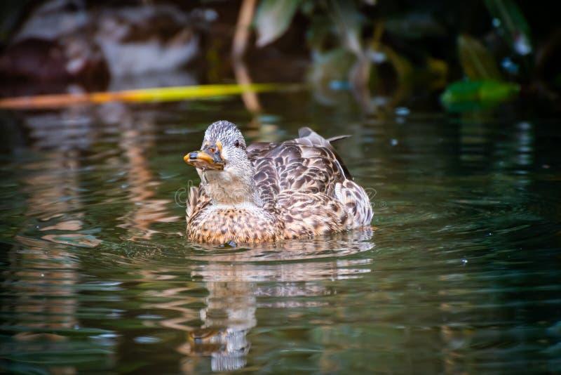Canard de Mallard pataugeant dans un étang avec la tête  images stock