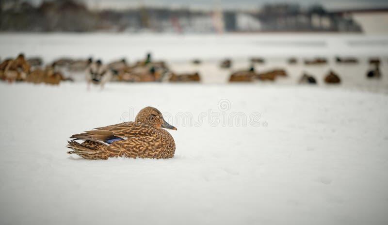 Canard de Mallard se reposant dans la neige à partir du troupeau photographie stock