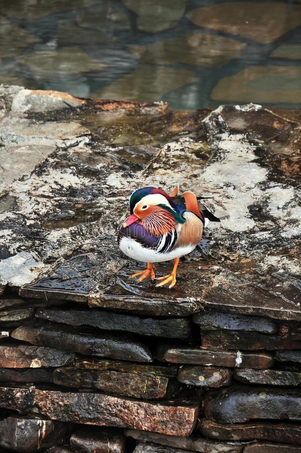 Canard de mandarine masculin coloré de stupéfaction photos stock