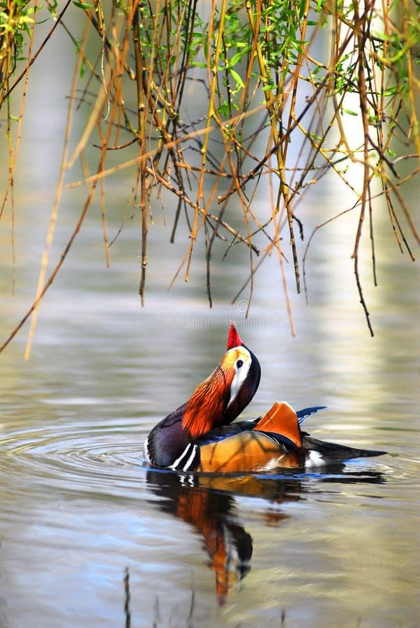 Canard de mandarine sur l'eau photographie stock libre de droits