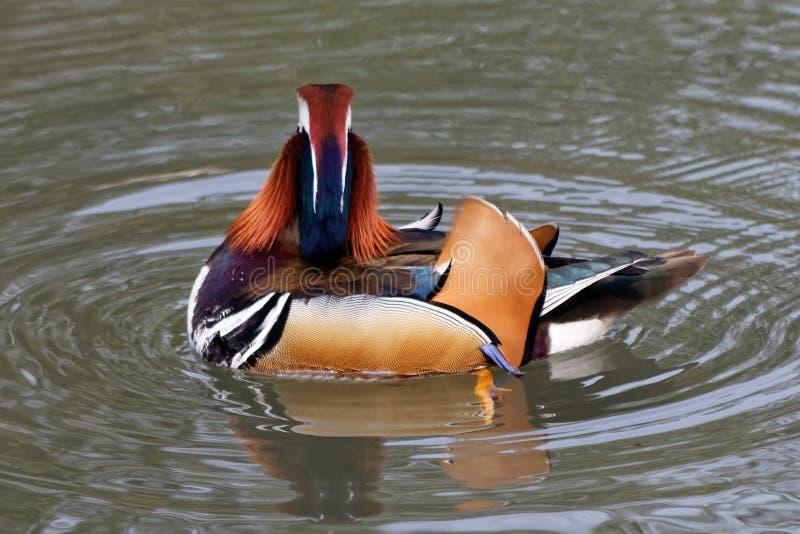 Canard de mandarine sur un étang 2 photographie stock