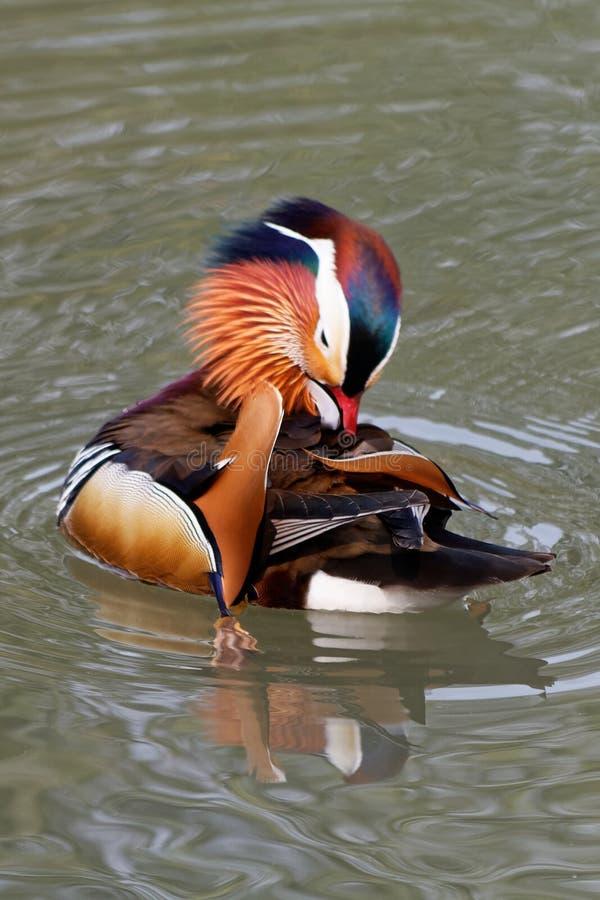 Canard de mandarine sur un étang 8 images libres de droits