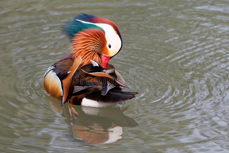 Canard de mandarine sur un étang 20 photographie stock