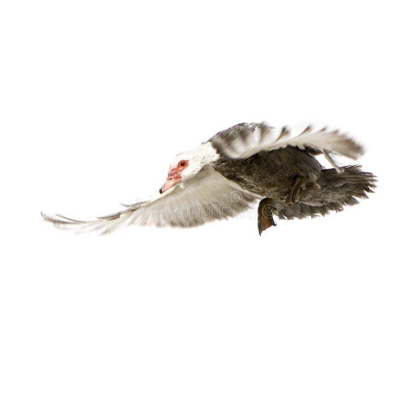 Canard de Muscovy photos libres de droits