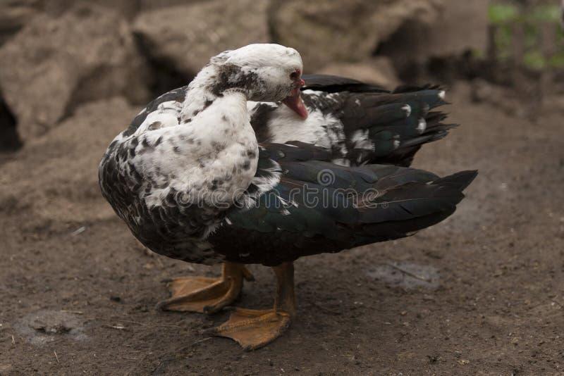 Canard de Muscovy photos stock