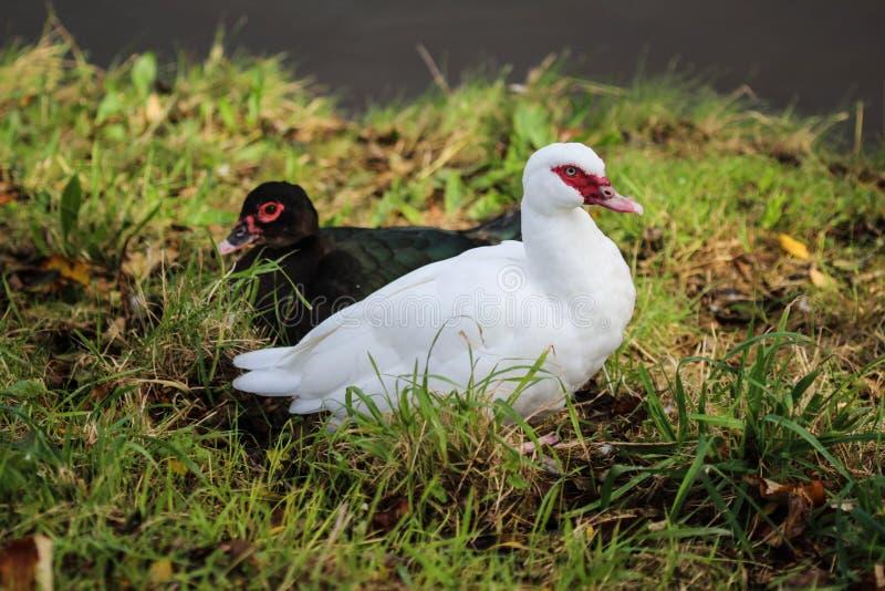 Canard de Muscovy, moschata de Cairina image libre de droits