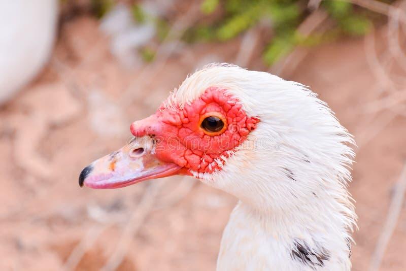 Canard de Muskovy sauvage photo libre de droits