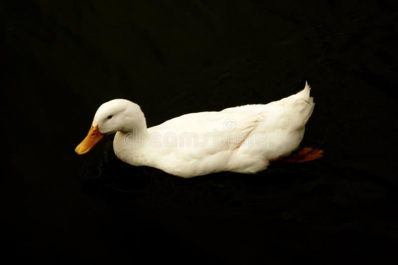Canard de natation photo stock