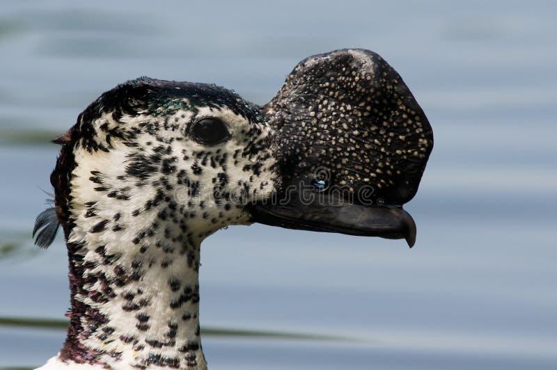 Canard de peigne photo libre de droits