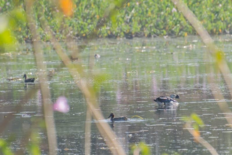 Canard de peigne et sarcelles d'hiver communes dans le lac images stock