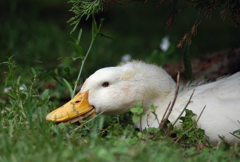 Canard de Pekin image stock