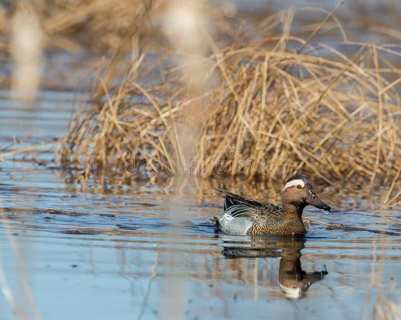 Canard de sarcelle d'été dans la région de faune de prés de Crex dans le Wisconsin du nord - extrêmement rare - d'abord et seulem images stock