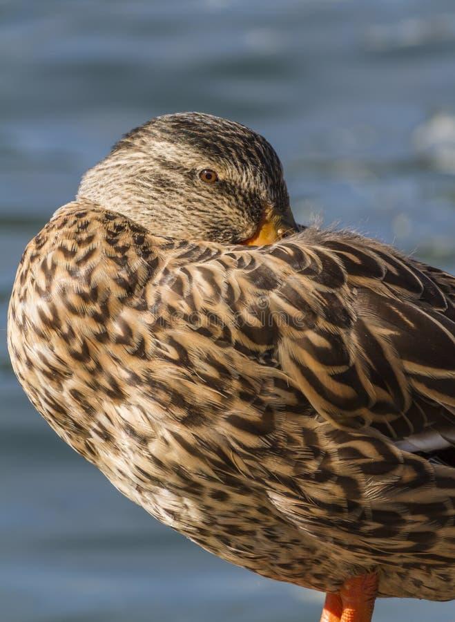 Canard dormant sur le lac image stock