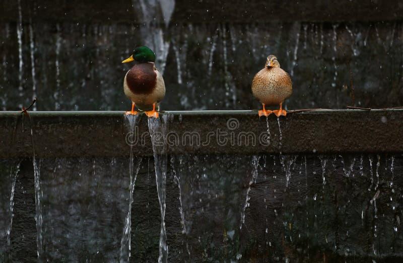 Canard du canard deux photographie stock libre de droits