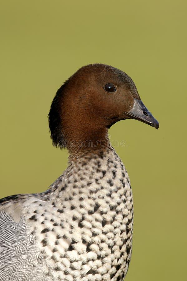 Canard en bois australien ou canard maned, jubata de Chenonetta, photos stock