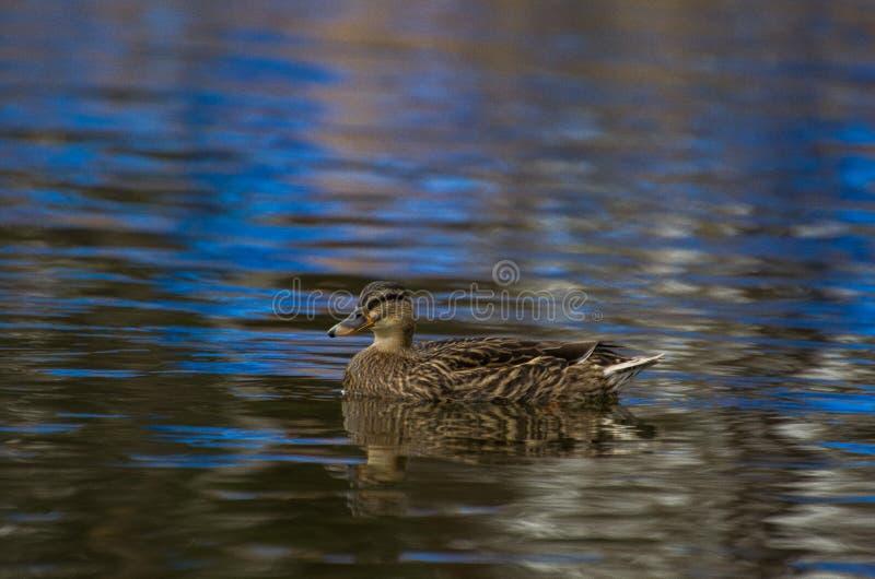Canard entouré par le lac bleu image libre de droits