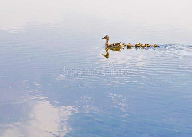 Canard et caneton image stock