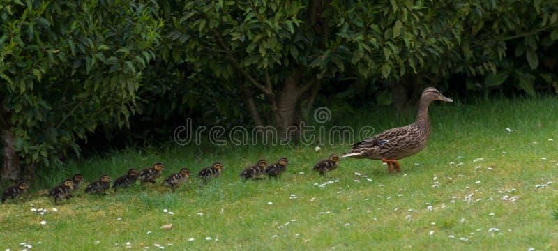 Canard et canetons photos stock