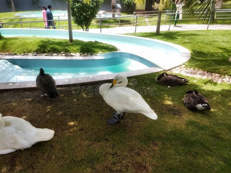 Canard et cygne - animal photographie stock libre de droits
