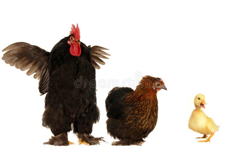 Canard et poules image stock