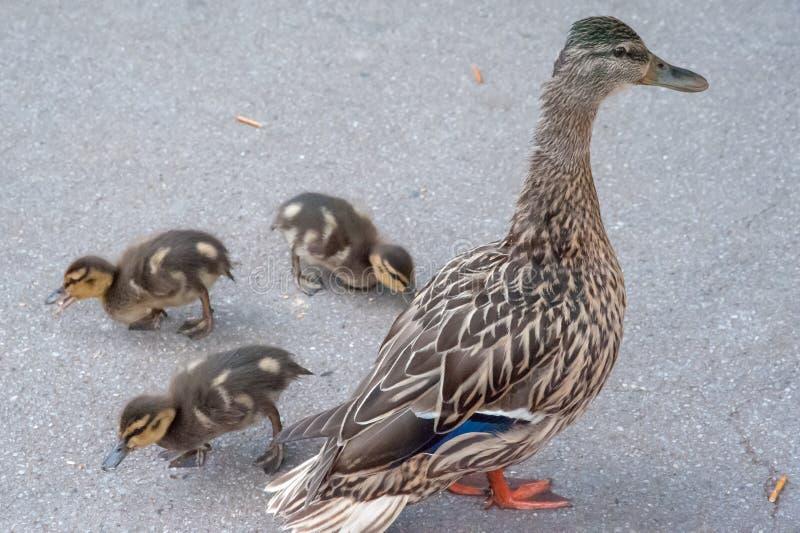 Canard et poussins, plan rapproché de maman de canard et trois poussins photo libre de droits