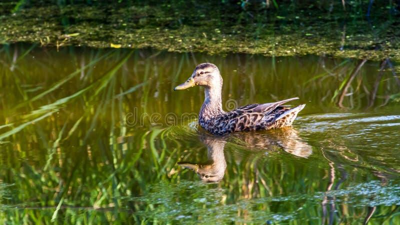 Canard femelle images stock