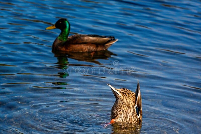 Canard femelle avec la tête dans l'eau et fond collant  photo libre de droits