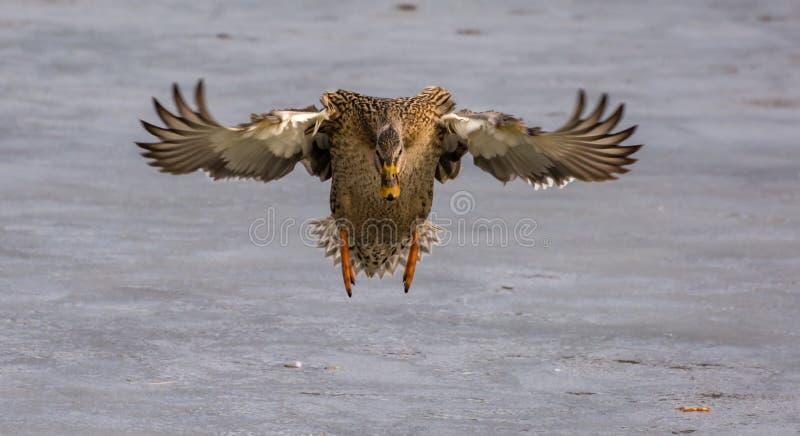 Canard femelle de colvert en vol photo libre de droits